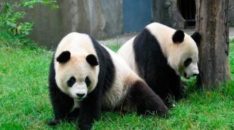 Viaje de voluntariado en China. Protección de oso panda