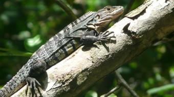 Viaje de voluntariado en Honduras. Protección de la iguana