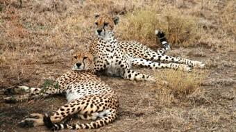 Viaje de voluntariado en Sudáfrica. Experiencia con guepardos